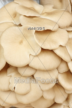 Fruiting Bodies Of Mushroom, Edible Gilled Fungus Stock Photo