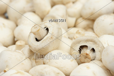 Fruiting Bodies Of White Champignon, Edible Gilled Fungus Stock Photo