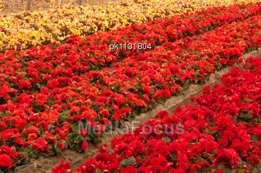 Full-frame Image Of A Cultivated Flower Field Stock Photo