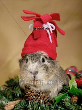Funny Cavia On The Christmas Garland As Santa Or Dwarf Stock Photo