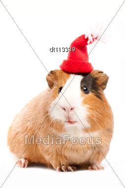 Funny Guinea Pig Portrait Stock Photo
