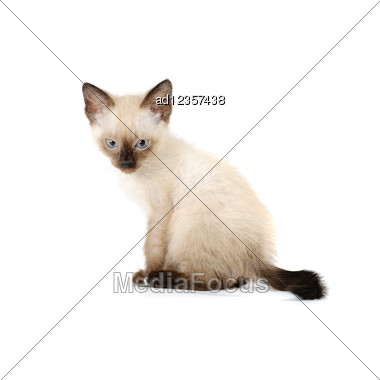 Funny Playful Siamese Kitten Stock Photo