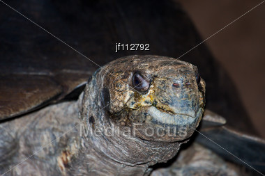 Galapagos Giant Tortoise At The Local Zoo Stock Photo