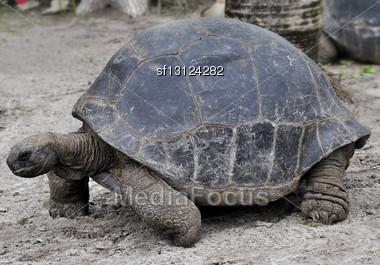 Galapagos Giant Tortoise ,Close Up Stock Photo