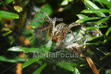 Garden Orb Spider Working To Keep His Web In Working Condition Stock Photo