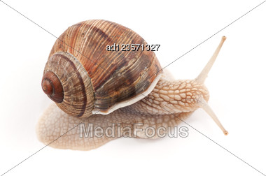 Garden Snail Stock Photo