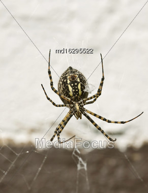 Garden Spider Yellow And Black In Web Stock Photo