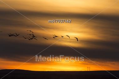 Geese In Flight Sunset In Saskatchewan Canada Stock Photo