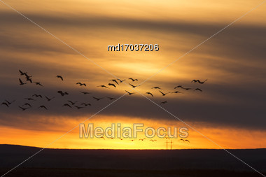 Geese In Flight Sunset In Saskatchewan Canada Stock Photo