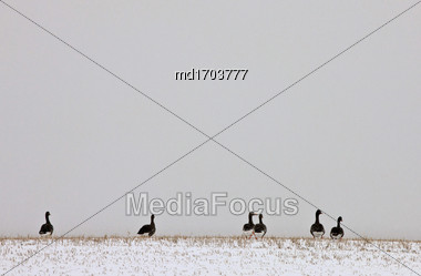 Geese On A Hill In Saskatchewan Canada Stock Photo