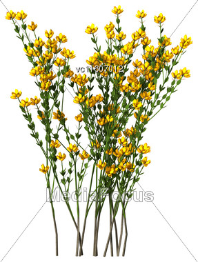 Genista Hispanica Flowers Isolated On White Background Stock Photo