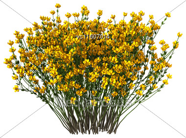 Genista Hispanica Flowers Isolated On White Background Stock Photo