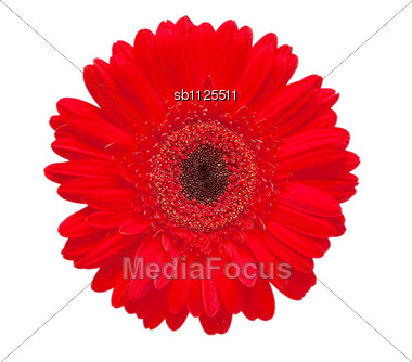 gerber flower Stock Photo
