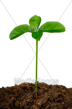 Germ Of A Lemon In The Ground Stock Photo