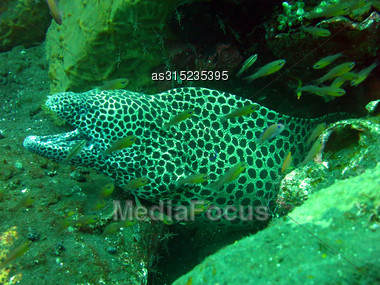 Giant Spotted Moray Hiding Amongst Coral Reef On The Ocean Floor, Bali Stock Photo