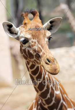 Giraffe At The Zoo, Head Close-ups Stock Photo