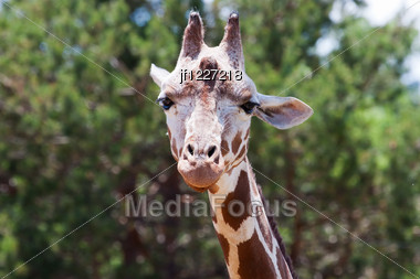Giraffe At The Zoo Looking At The Camera. Stock Photo