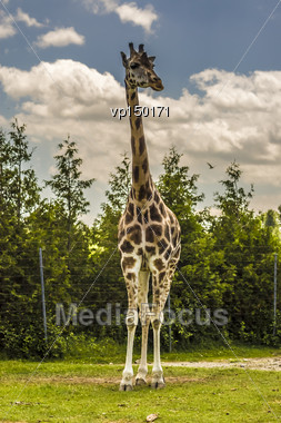 Giraffe Standing In Its Captive Habitat Stock Photo