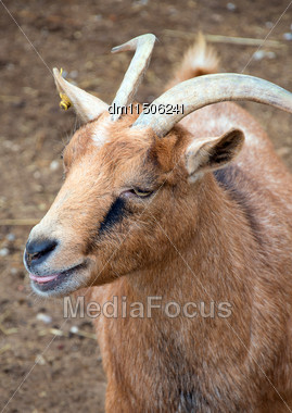 Goat Walking On The Small Farm Stock Photo