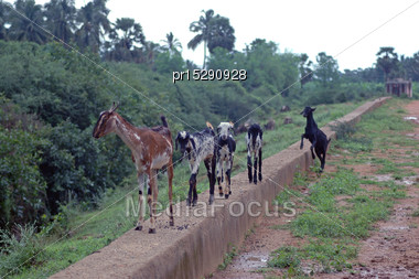 Goats On Concrete Wall, Tamil Nadu, South India Stock Photo