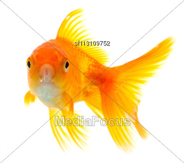 Gold Fish Isolated On A White Background Stock Photo