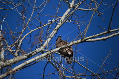 Golden Eagle In Tree Young Juvenile Brown Feathers Stock Photo