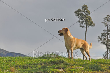 Golden Labrador Gamedog Waits For His Master To Drop A Bird Stock Photo