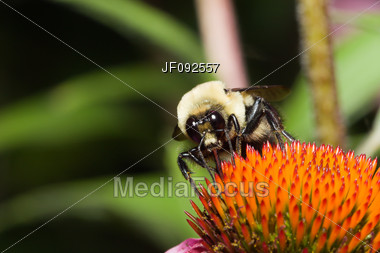 Golden Northern Bumblebee On A Cone Flower Stock Photo