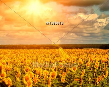 Golden Summer Sun Over The Sunflower Fields, Natural Landscape Stock Photo