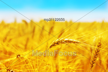 Golden Wheat Field With Blue Sky In Background Stock Photo
