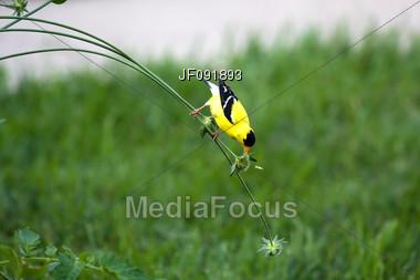 Goldfinch Feeding On Plant Stem Stock Photo