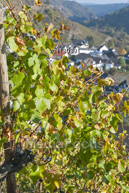 Grape Field Under The Sun On Background Of German Village, Rheinland-Pfalz, Germany Stock Photo