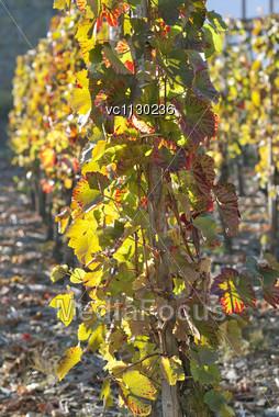 Grape Field Under The Sun, Rheinland-Pfalz, Germany Stock Photo