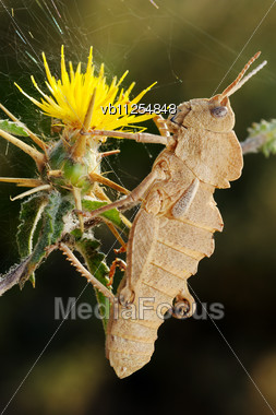 Grasshopper On Yellow Prickly Flower In Israel Stock Photo