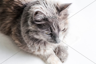Gray Cat On White Background Stock Photo