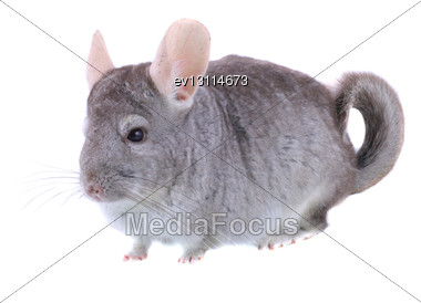 Gray Ebonite Chinchilla On White Background. Isolataed Stock Photo