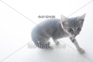 Gray Kitten On A White Background Stock Photo