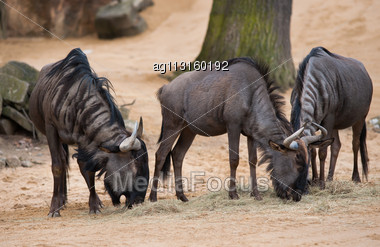 Grazing Or Pasturing Wildebeests: Animals From Africa Stock Photo
