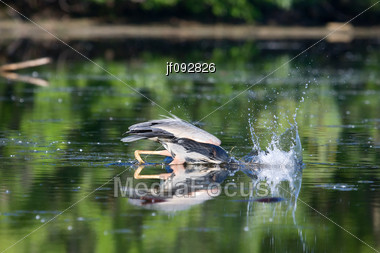 Great Blue Heron Dives For A Meal Stock Photo