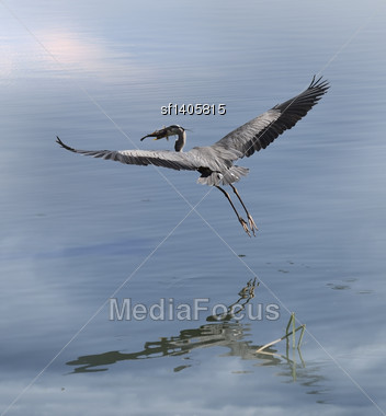 Great Blue Heron With A Fish In Flight Stock Photo