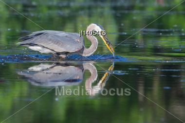 Great Blue Heron Fishing In The Low Lake Waters Stock Photo