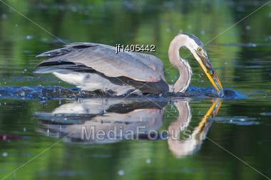 Great Blue Heron Fishing In The Low Lake Waters In Soft Focus Stock Photo