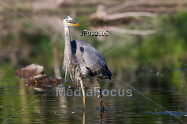 Great Blue Heron Fishing In The Low Swamp Waters Stock Photo
