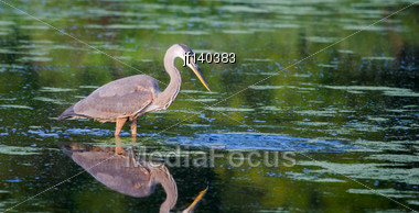 Great Blue Heron Fishing In A Pond In Soft Focus Stock Photo