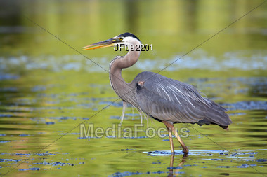 Great Blue Heron Fishing Searching For Food Stock Photo