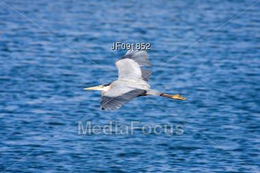 Great Blue Heron Flying Stock Photo