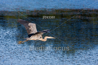 Great Blue Heron Flying To A New Fishing Location Stock Photo