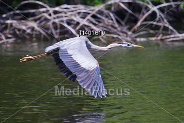 Great Blue Heron In Flight Over Lake Stock Photo