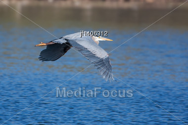 Great Blue Heron In Flight Over A Lake Stock Photo