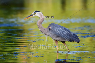 Great Blue Heron Looking For It's Next Meal Stock Photo